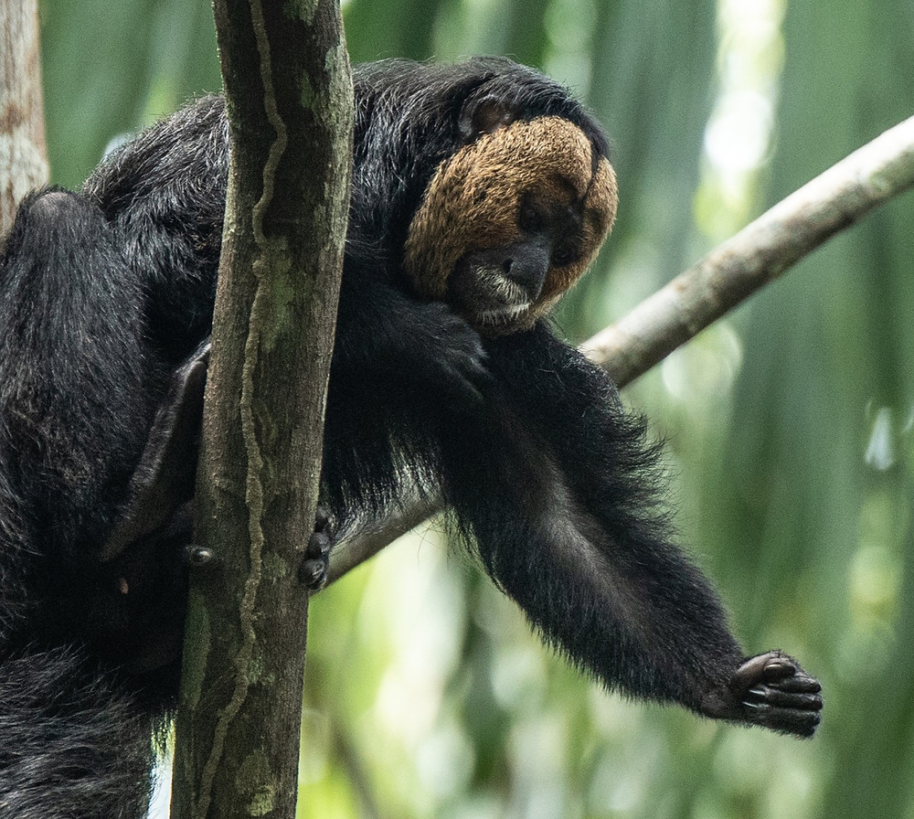 Golden-faced Saki (male)