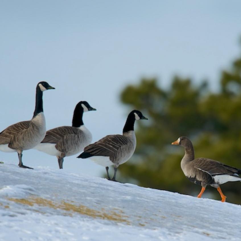 White fronted goose (right) - A rare Cape Cod visitor