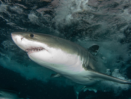 Report from Down Under: White Sharks were Missing