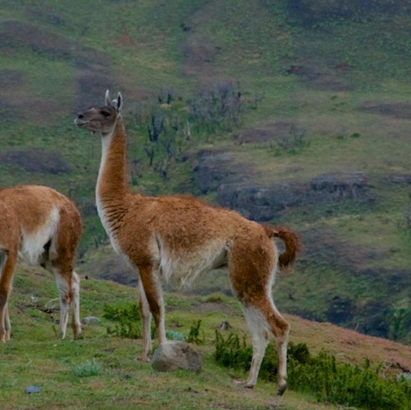 Guanacos - Torres del Paine