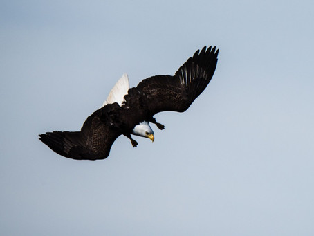 "Report from SE Alaska: Bald Eagle ""Top Gun"" School"