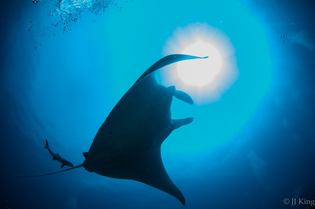 Massive Oceanic Manta Ray - This specimen was 20 ft in width from wing tip to tip. The smaller fish in the image is a 5 foot Cobia that followed this manta to a cleaning station we staked out about 65 ft below the surface. -Raja Ampat, Indonesia (February 2016)