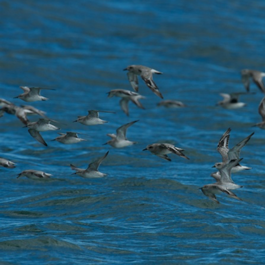 Red Knots and Dunlins in Flight