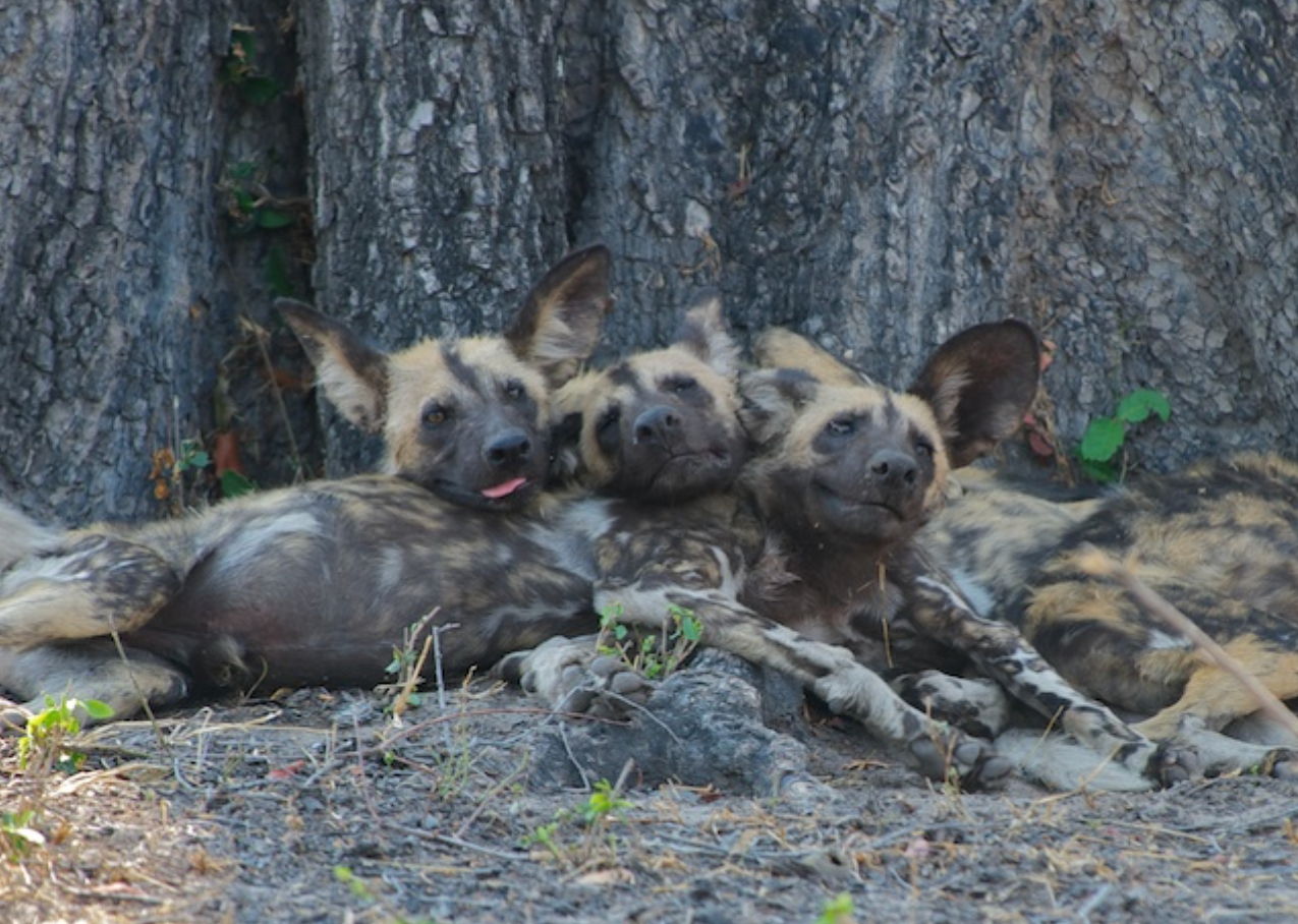 Young wild dogs rest before an afternoon hunt