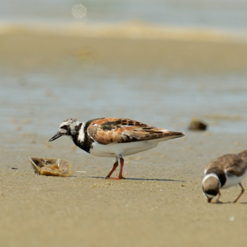 Rudy Turnstone and Ringed Necked Plover