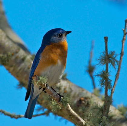 Eastern Bluebird returns! - Chatham