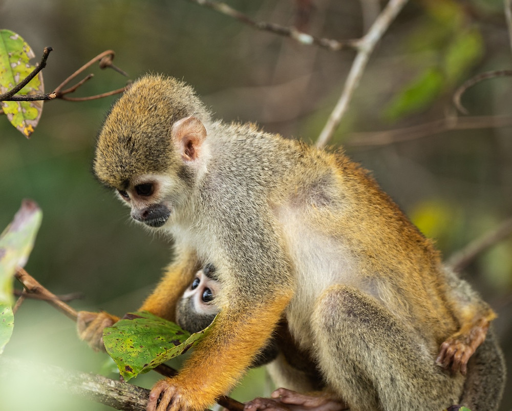 Humboldt's Squirrel Monkey