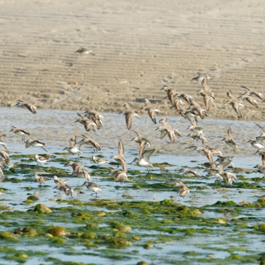 Semipalimated sandpipers momentarily scared up by a passing Peregrine Falcon. Sandy Neck, Barnstable