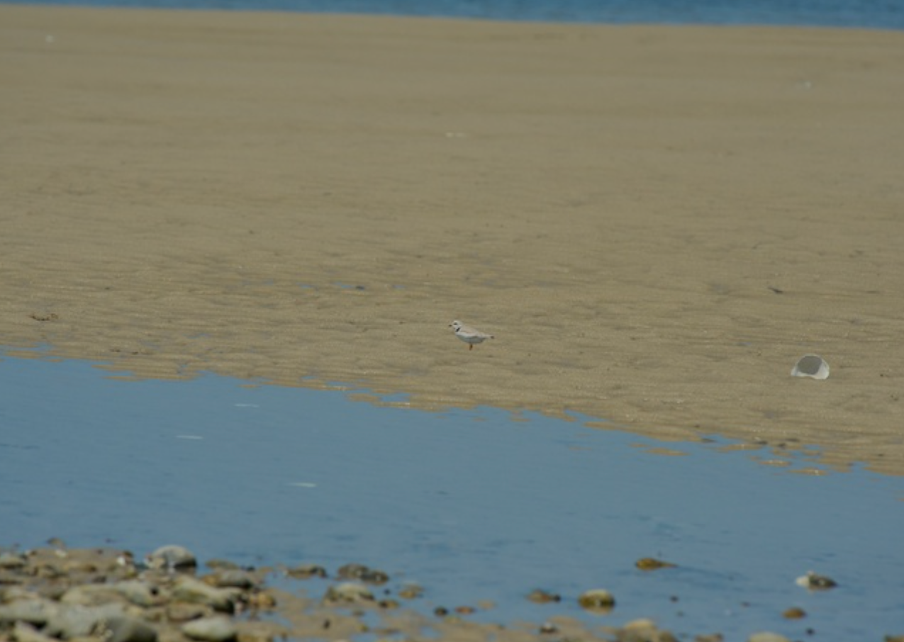 Piping Plover feeds at low tide