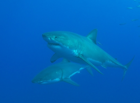 Close Encounters of the Shark Kind II