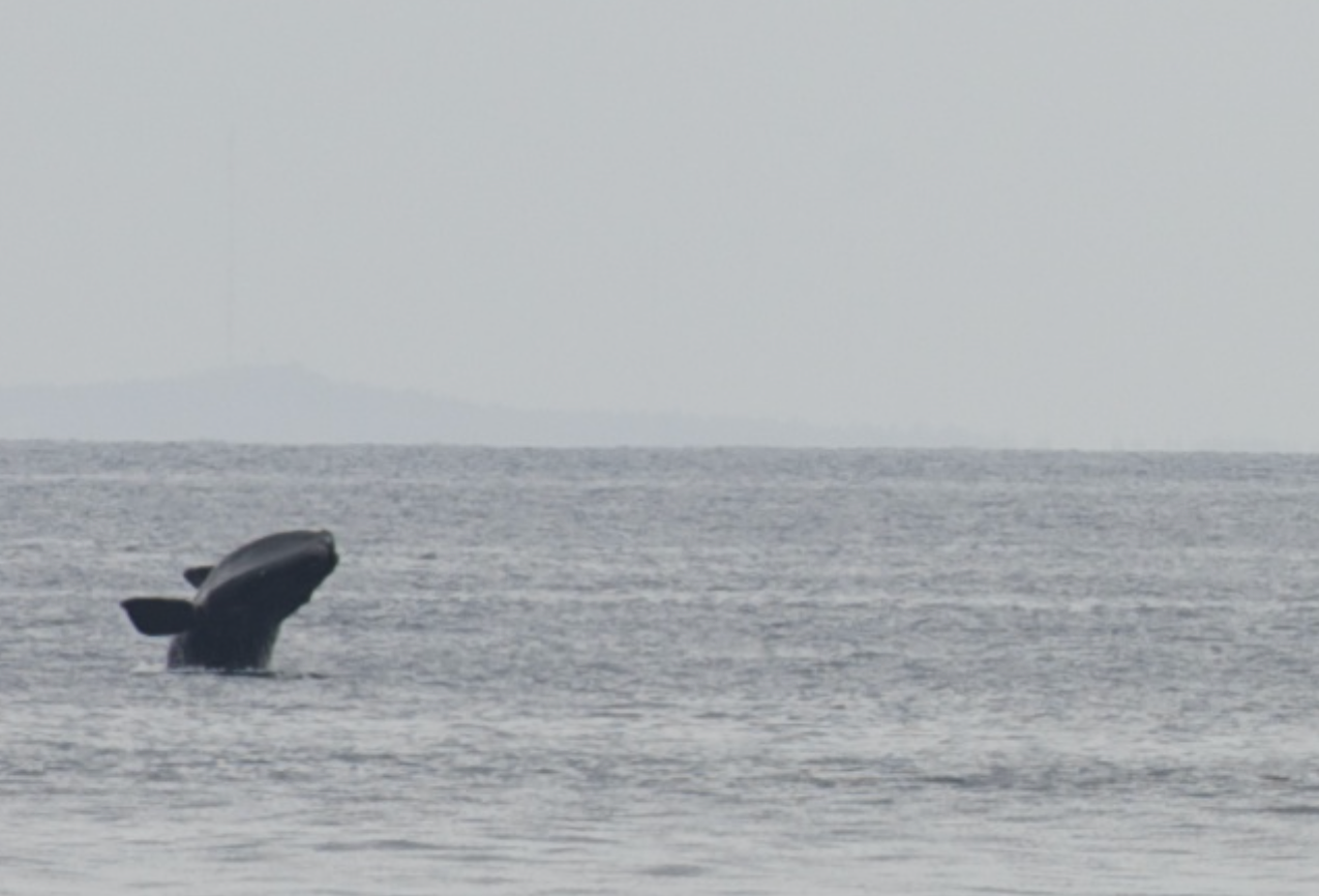 Northern Right Whales at Race Point[