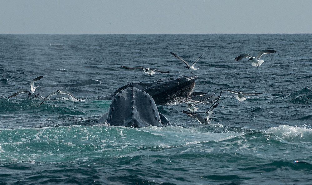 Humpbacks surface feeding on sand eels. We saw dozens of whales!