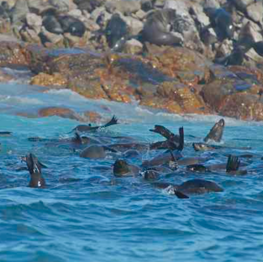 Cape fur seals juggingupside down on the edge of shark alley