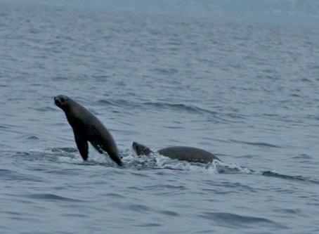 White Shark Seal Attack