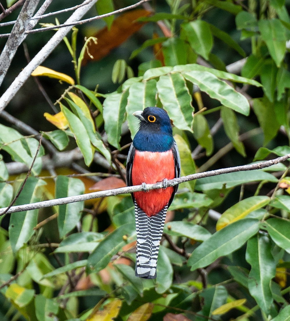 Black tailed Trogon (male)