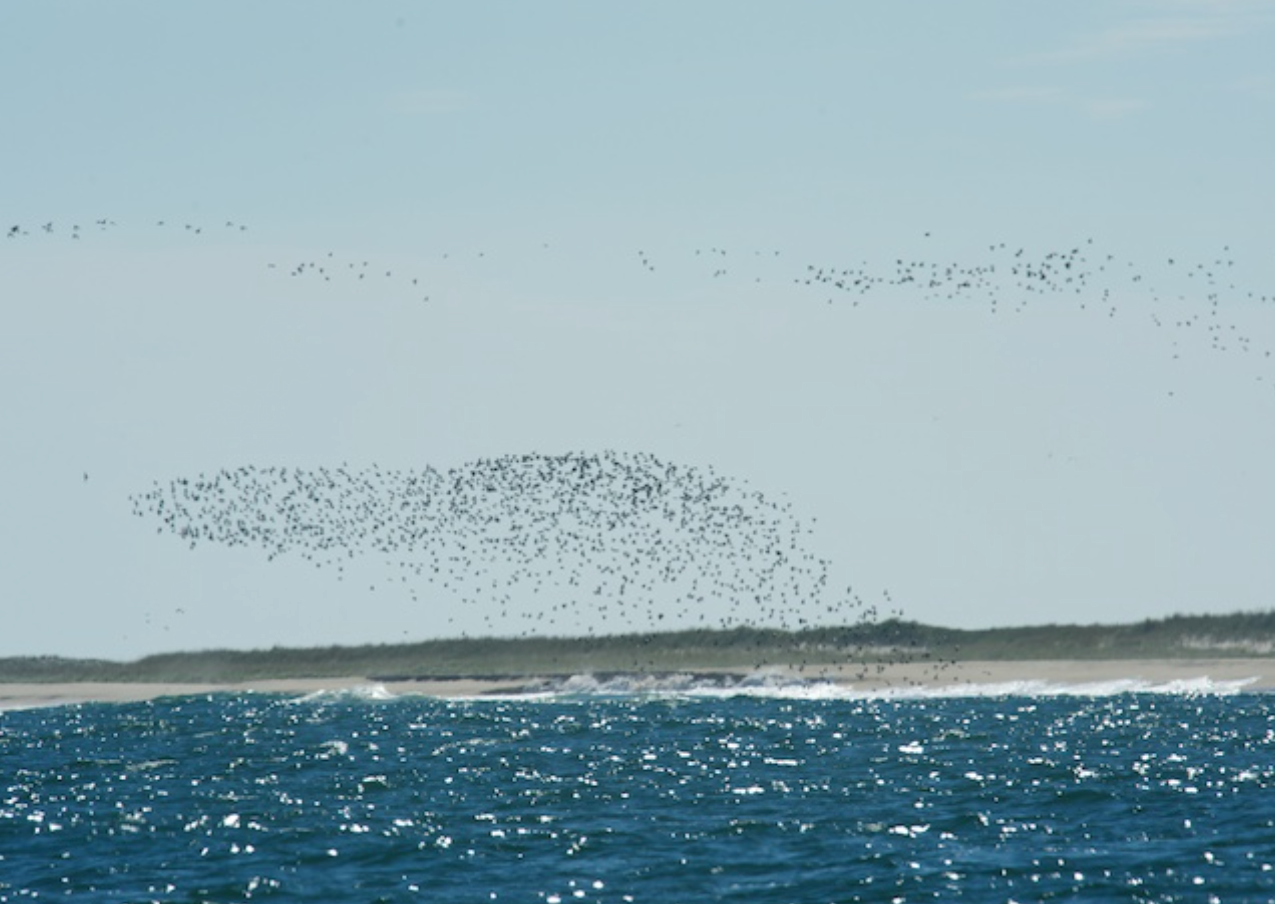 Mixed flock of shorebirds in motion