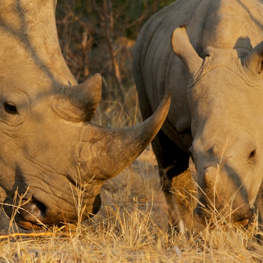 Mom and baby White Rhino