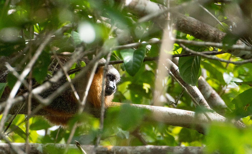 Red - bellied Titi Monkey