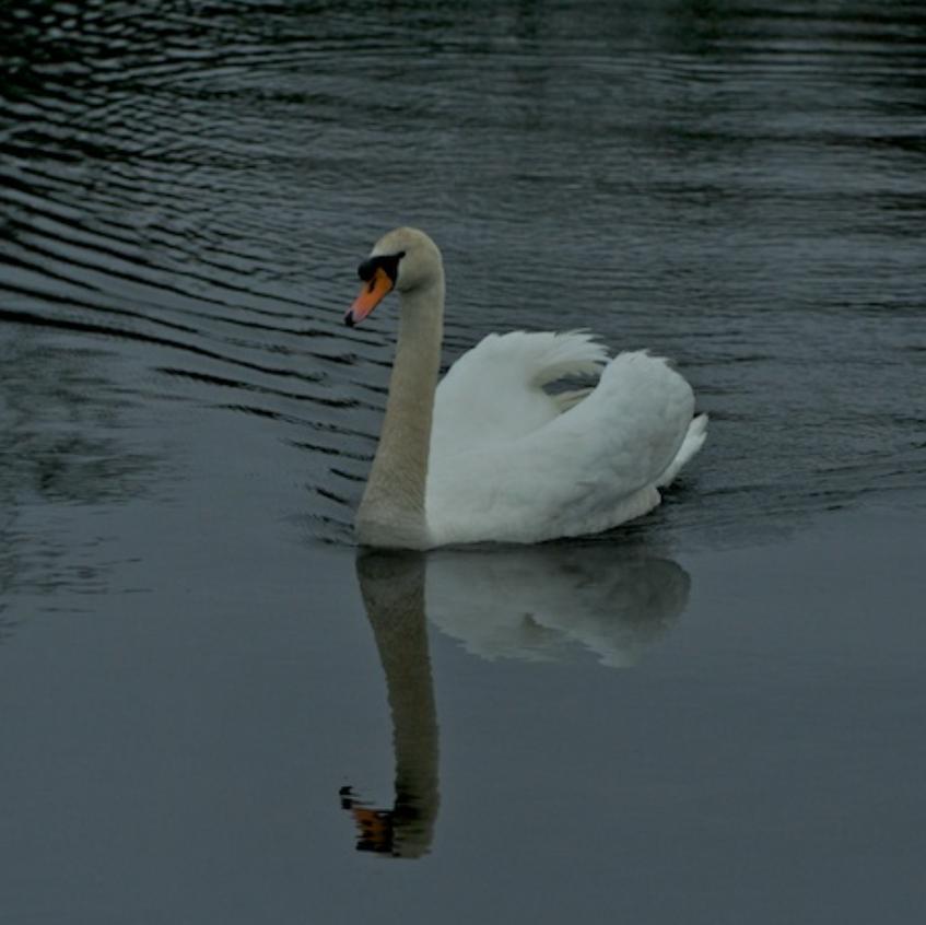 Mute Swan - Sandwich
