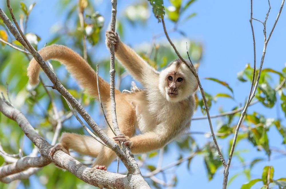 Spix's White fronted Capuchin Monkey