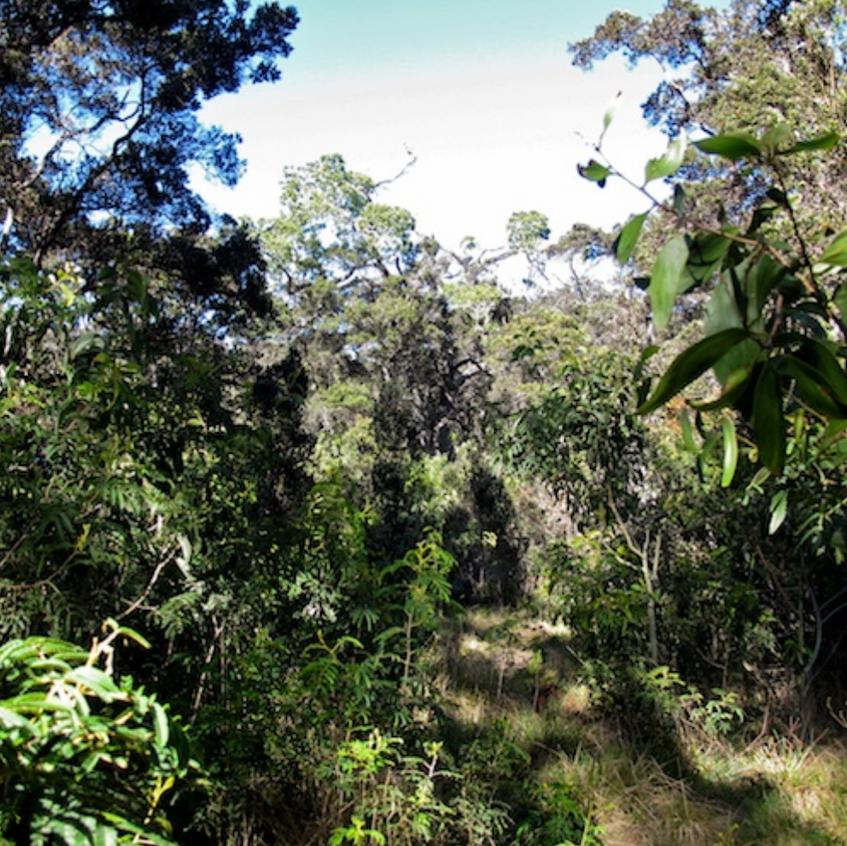 Rainforest wet side of Mauna Kea