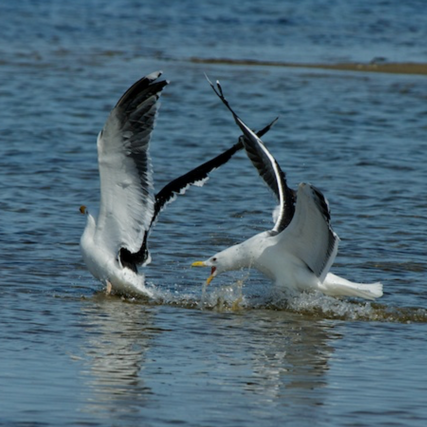 Black - backed gulls on South beach - Chatham