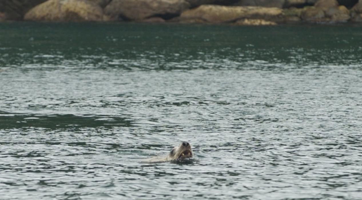 Stellar sea lion stalks some salmon