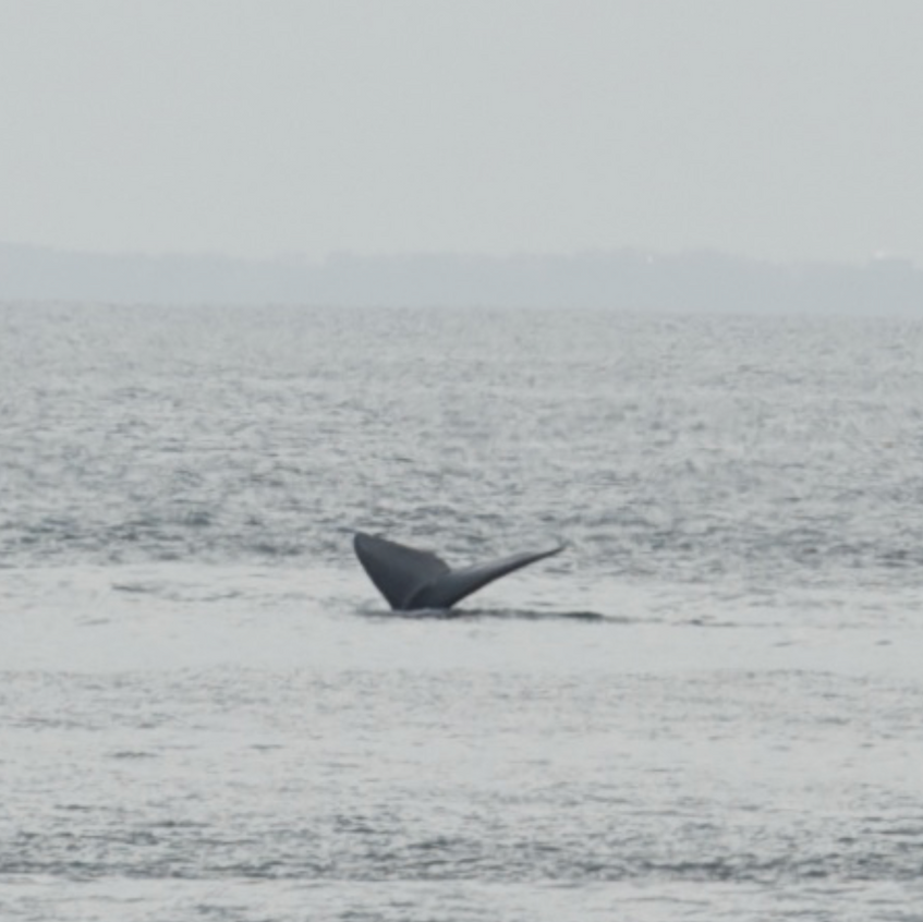 Northern Right Whale dives