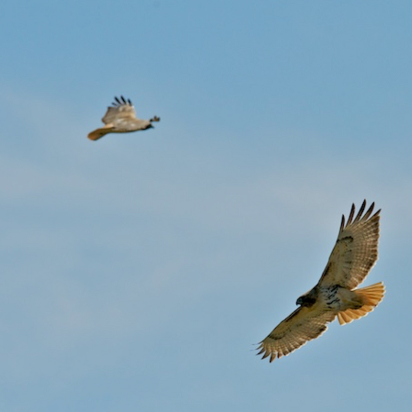 A Pair of Red Tailed Hawks