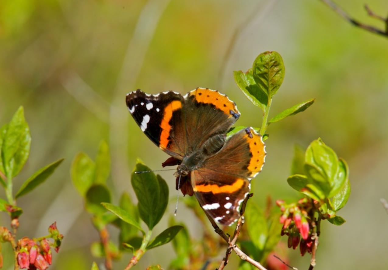 Red Admiral Butterfly (Vanessa atalanta)-2