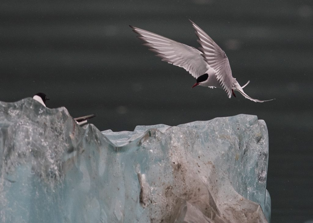 Arctic terns on iceberg bits. - Frederick SoundSoutheast Alaska (May 2016)