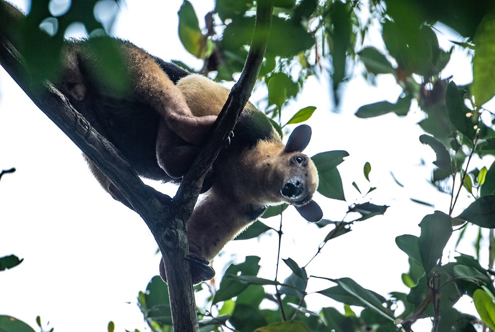 Southern Tamandua in a tree on the river's edge.