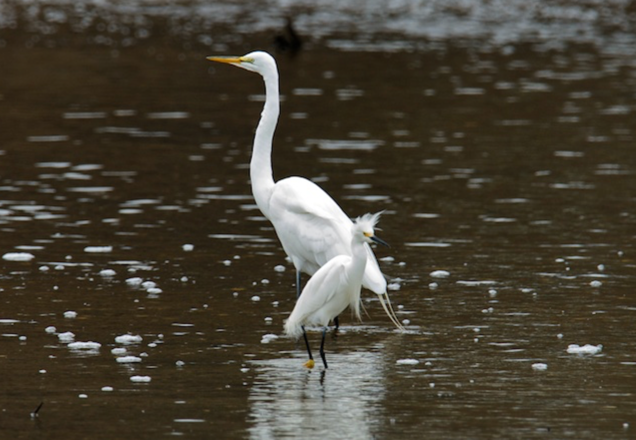 Snowy and Great Egrets share space in Ryders Cove, Chatham
