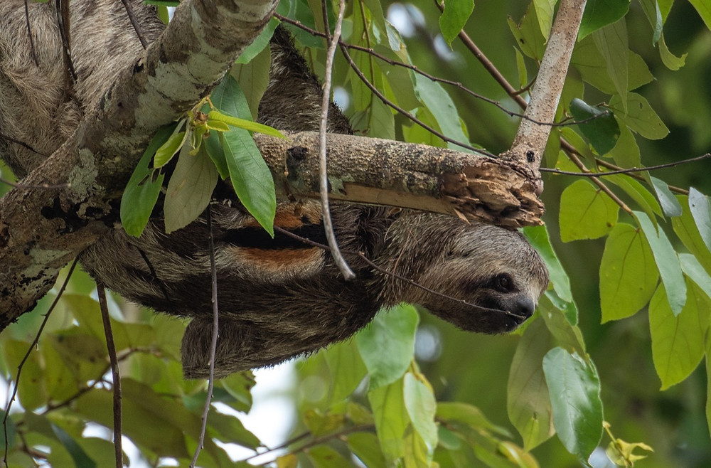 Brown throated three toed Sloth