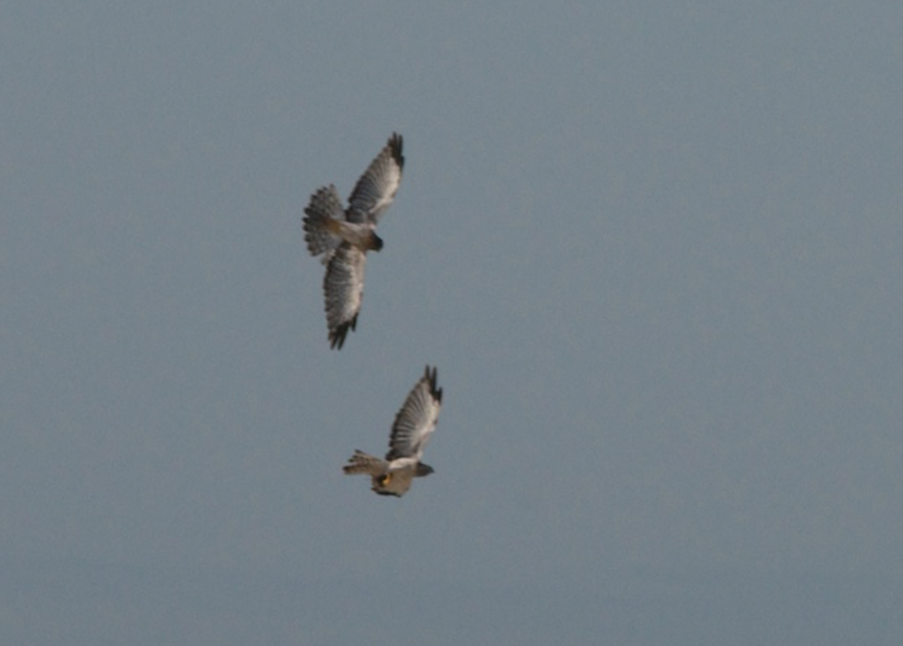 Pair of Northern Harriers struggle over a meal