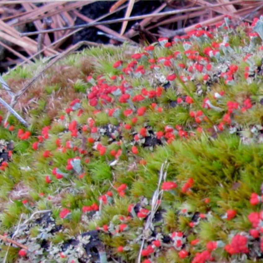 Redcoats on lichen