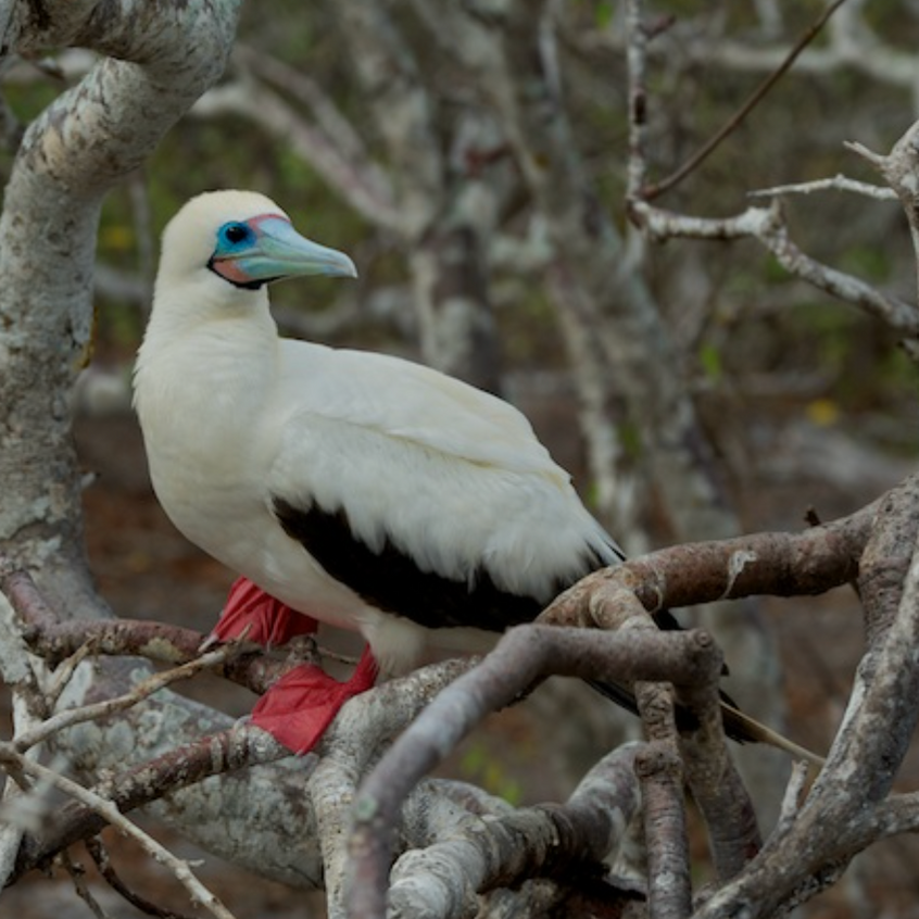 Red footed booby (white form)