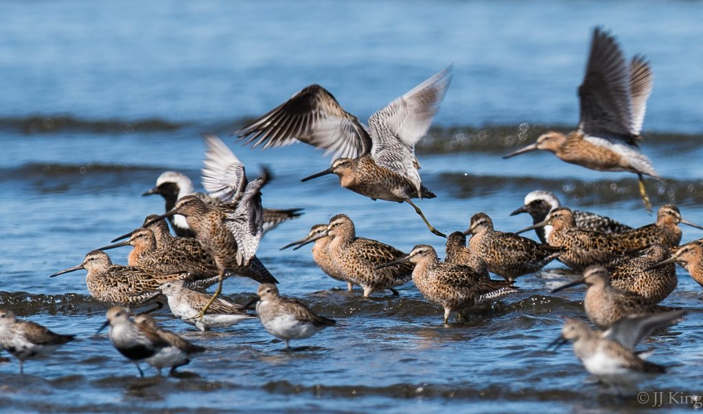 A flock of shorebirds gaining their breeding plumage gathering on the northerly migration to the arctic. -Willapa Bay, Washington USA (April 2016)