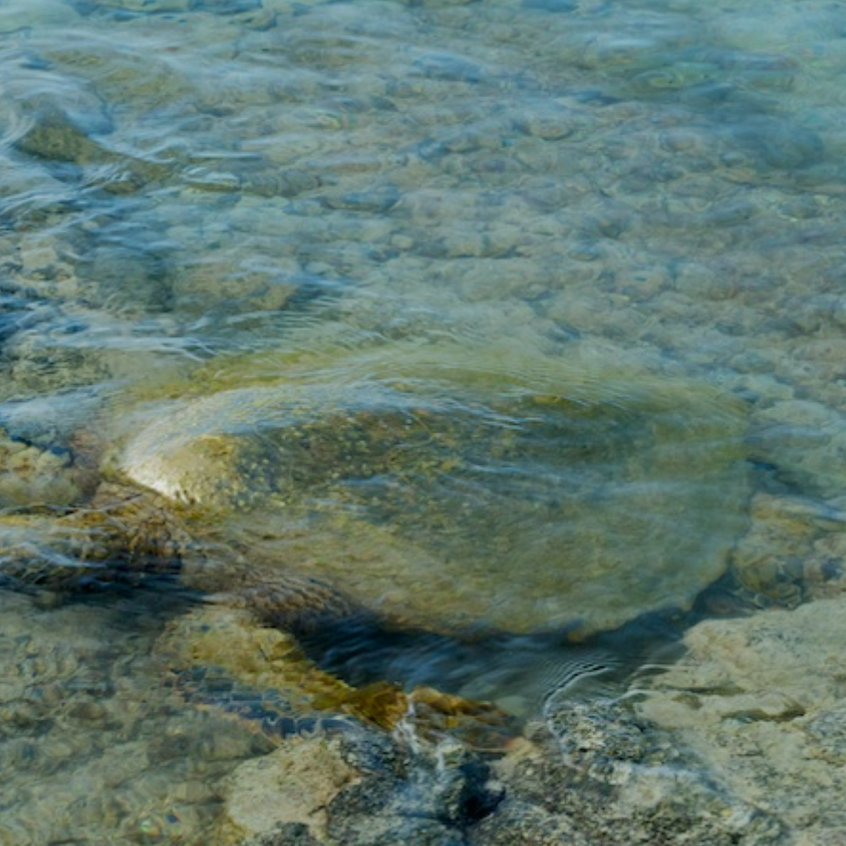 Green turtle with coat of algae forgaing in the pools