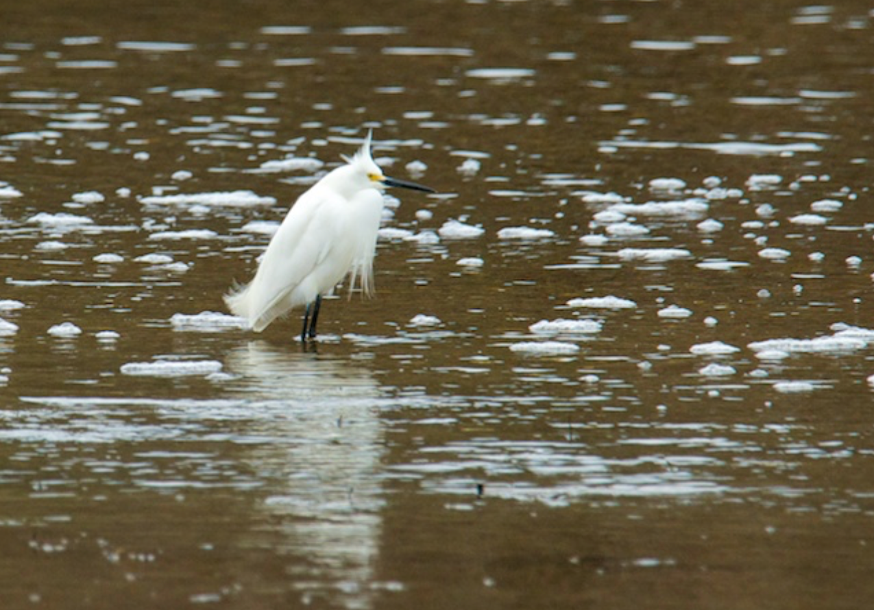 Snowy Egret looking good on the hunt for a meal