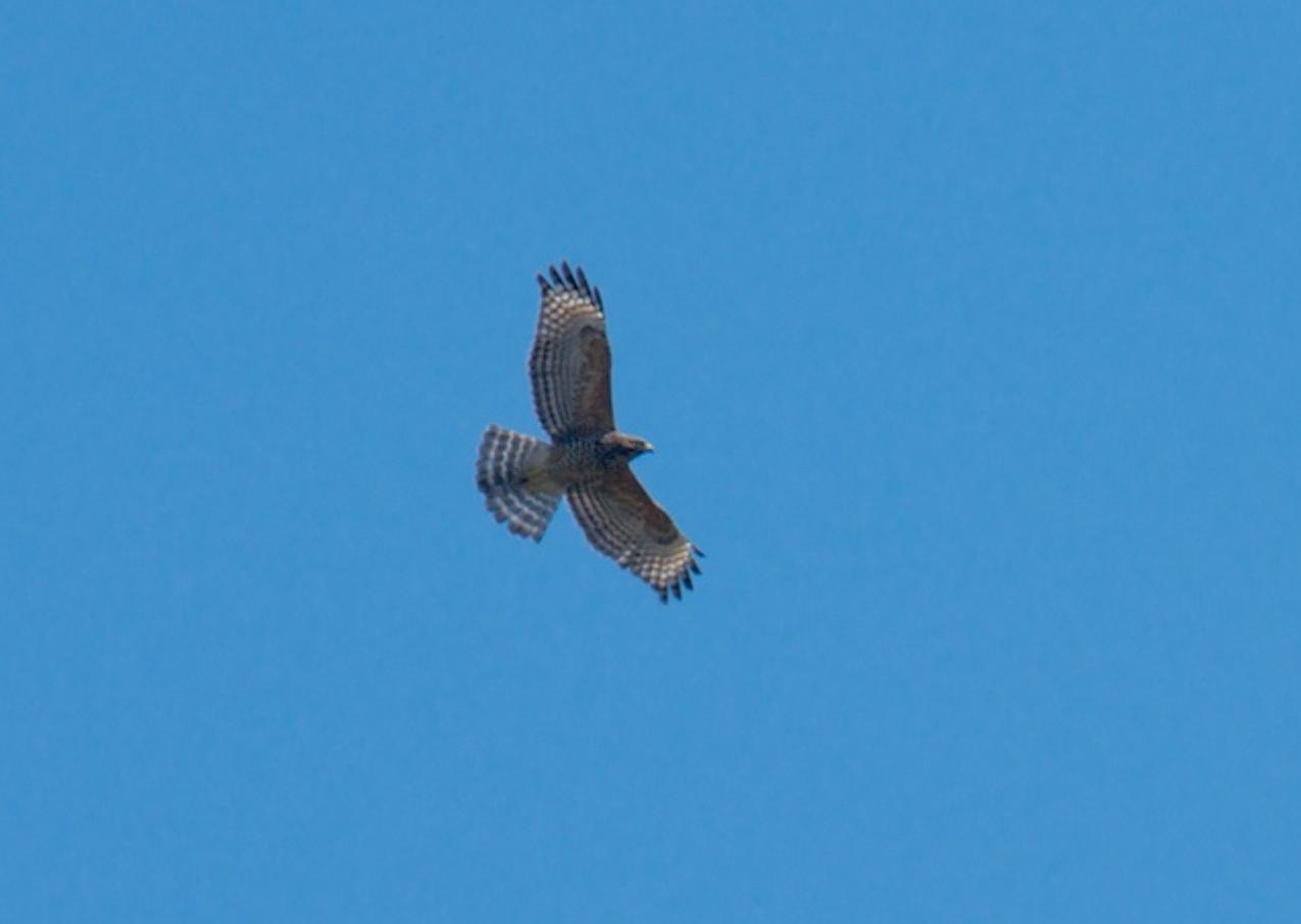 Red shouldered hawk, near San Diego