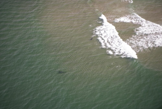 White shark stalks a grey seal in the surf off Nauset Inlet. (in the air with Wayne Davis)