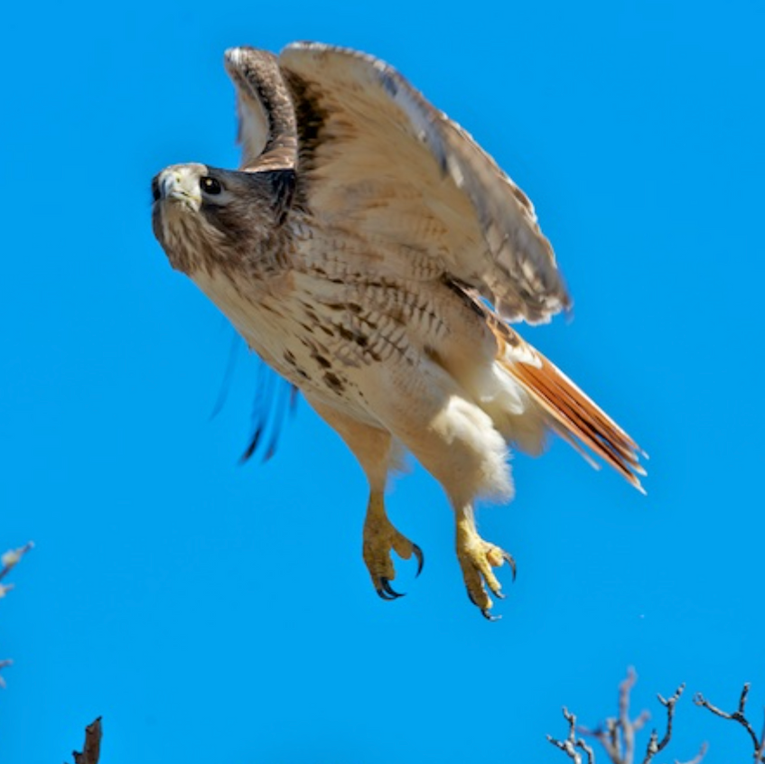 Red-tailed Hawk at lift off moment
