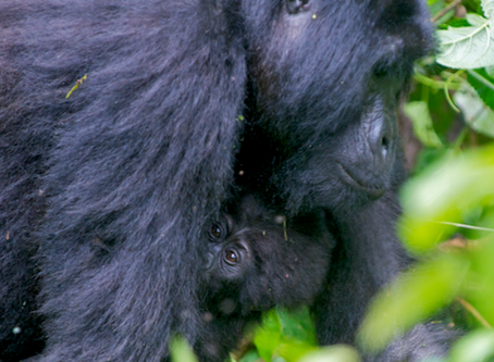 Touched by a Wild Mountain Gorilla – The Real Story