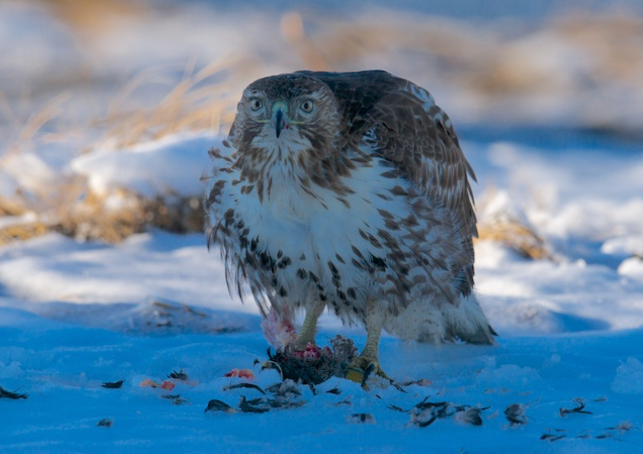 Young Red Tailed Hawk a bit annoyed by my interest in its meal.