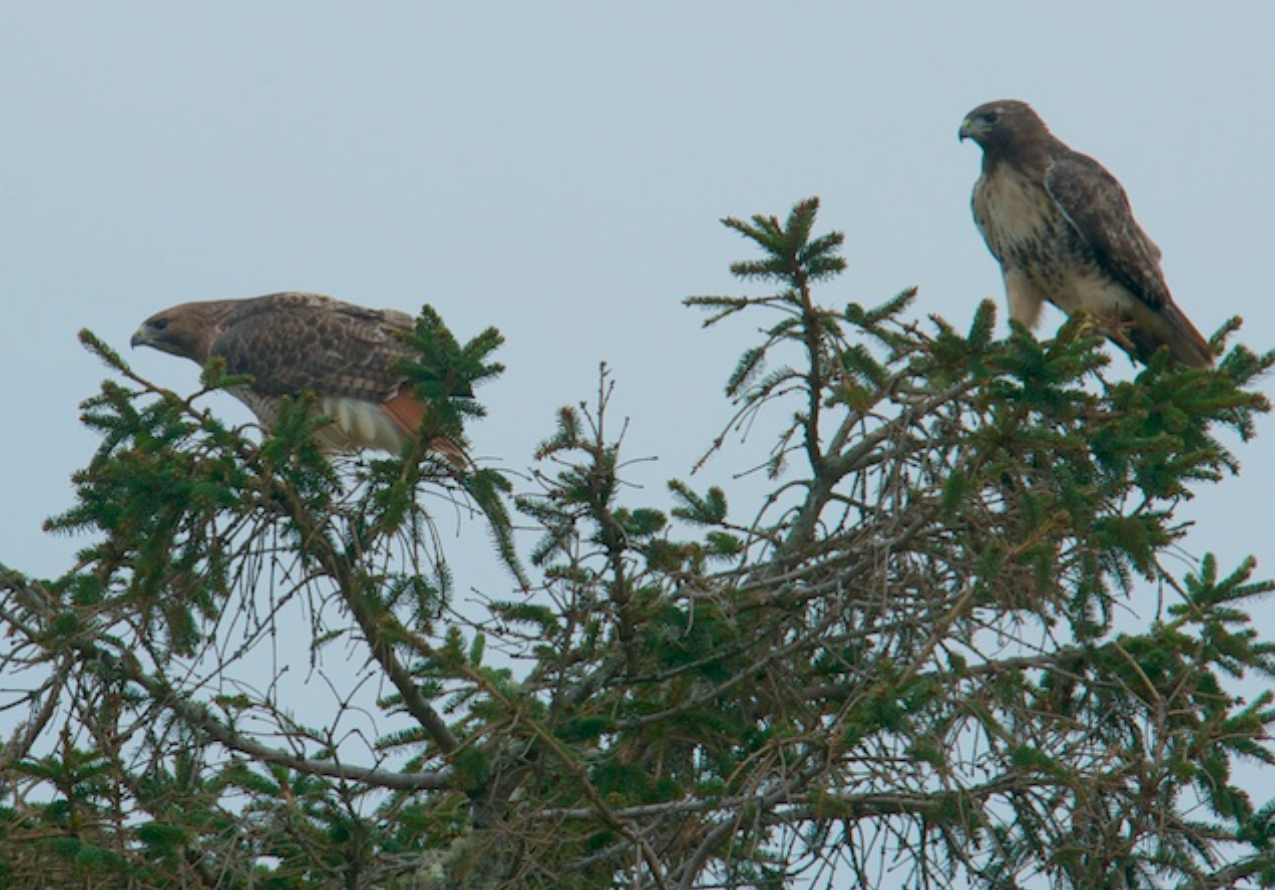 Pair of Red Tailed Hawks, Chatham