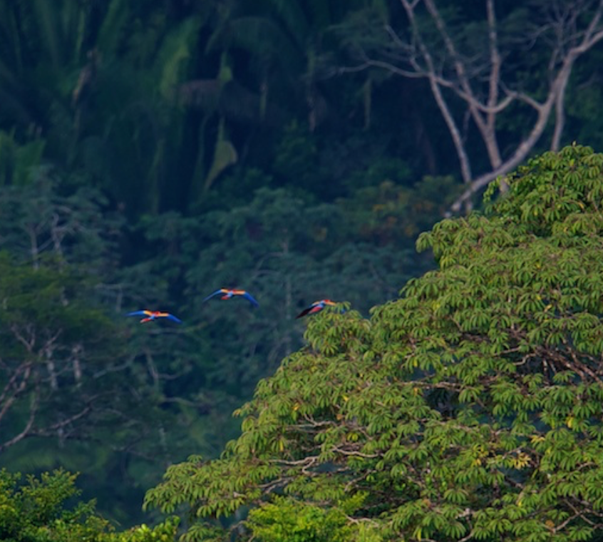 Macaws in the Forest