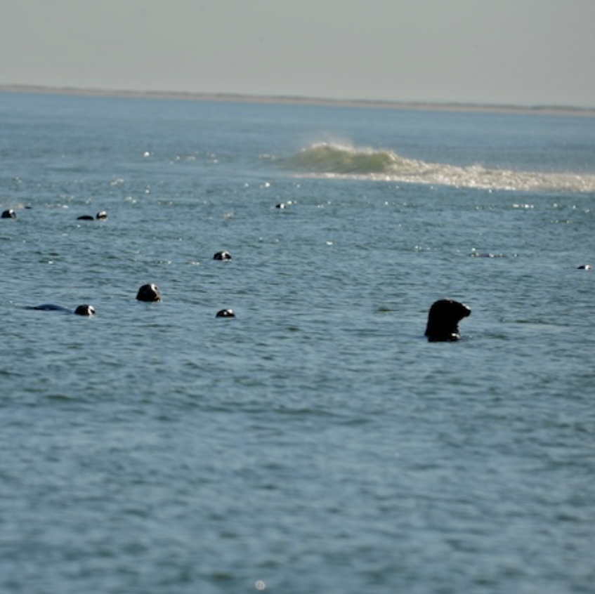 Gray seals look on at dead shark on Monomoy in confusion