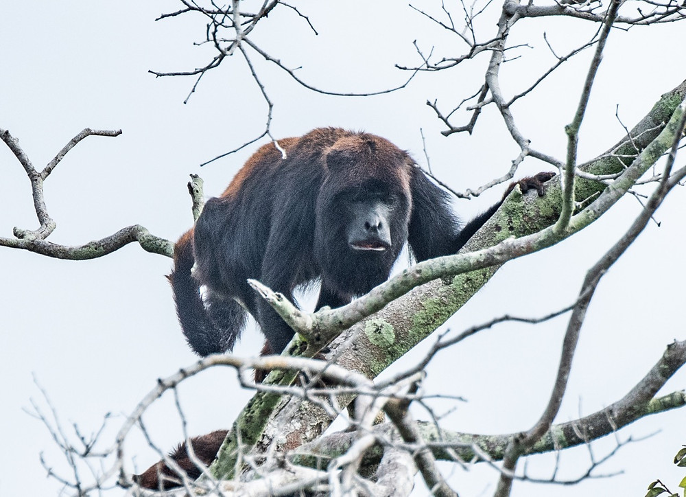 Spix's Red-Handed Howler monkey
