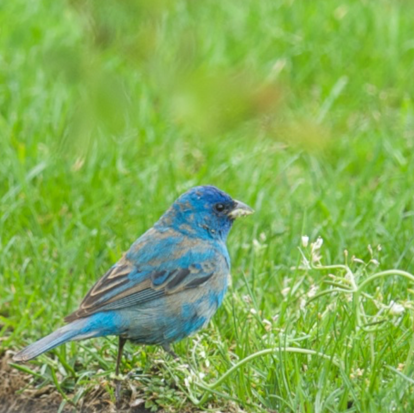 Indigo Bunting (rarely seen on the outer Cape but more common inland)